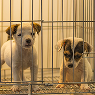 RSPCA calls for law change on puppy imports