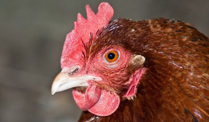 Poultry keepers urged to prepare for winter avian flu