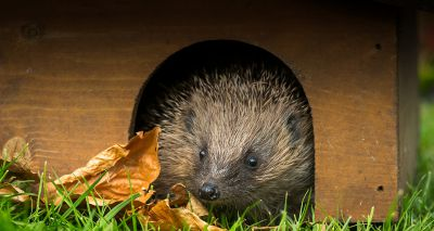 Environment secretary promotes 'hedgehog-friendly' gardens campaign