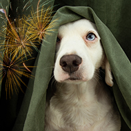 BVA urges pet owners to protect animals during fireworks season