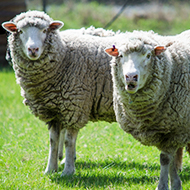'Social distancing' in sheep could eliminate maedi-visna in flock - study finds