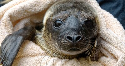 RSPCA staff create DIY sauna for sickly seal pups