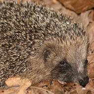 'Lockdown bonfires' spark concern for hedgehogs