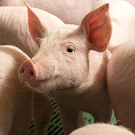 Submissions open for new 154k pig farming awards scheme