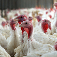 Avian flu identified at Yorkshire turkey farm