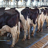 Issues reported with supply of lactating cow intramammary antibiotics
