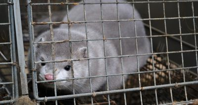 Denmark to cull 17 million mink after mutated COVID-19 strain found