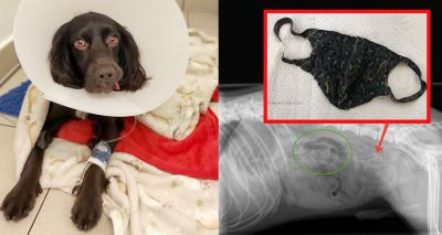 Vets save cocker spaniel after it eats a face mask
