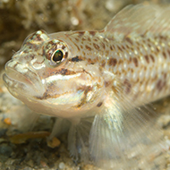 Goby fish fins may be as sensitive as human fingertips, study suggests