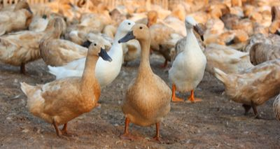 Avian flu cases confirmed in Norfolk