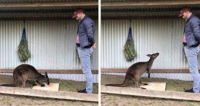 Kangaroos gaze at humans to communicate, study suggests