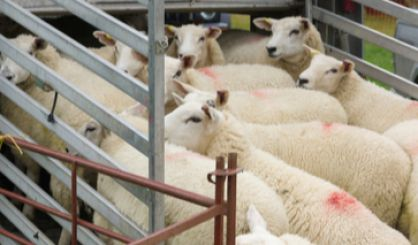 Government to consult on banning live animal exports
