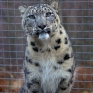 Male snow leopard arrives at Highland Wildlife Park