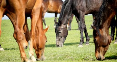 Study reveals insights into equine obesity