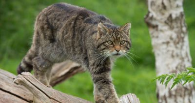 RZSS launches new Scottish wildcat conservation project