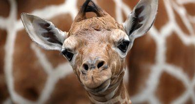 Endangered giraffe born on 'day of hope'