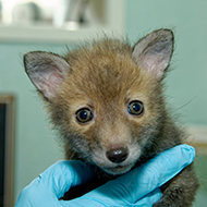 Scottish SPCA appeals for food donations for fox cubs