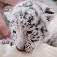 Rare white tiger cub born at Nicaragua zoo