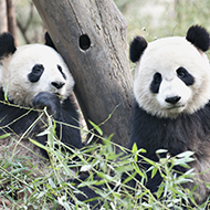 Edinburgh Zoo may have to return giant pandas to China