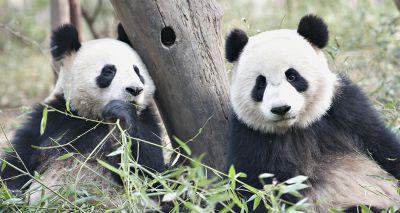 Edinburgh Zoo may have to return giant pandas to China