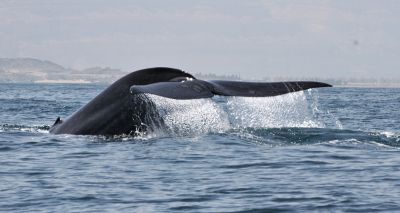 New population of blue whales discovered