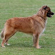 Pyrenean sheepdog (smooth face) recognised by The Kennel Club