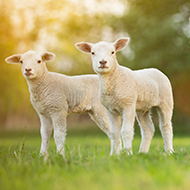 Vets find link between lamb weight and meat quality