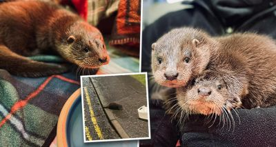Orphaned otter cubs found wandering streets of Inverkeithing