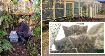 First wildcat arrives at Highlands breeding for release centre