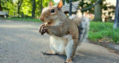 New research underway to track urban squirrels in Aberdeen