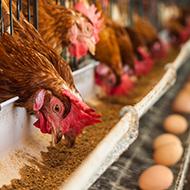 Common feed supplement strengthens chicken bones