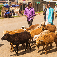 Rainfall drives genetic adaptation in Ethiopian sheep, study finds