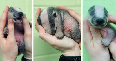 Scottish SPCA shares story of youngest badger ever in its care