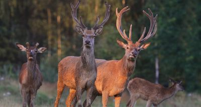Study to explore threat of fatal disease in deer