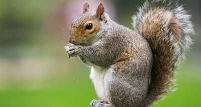 Squirrels' larger brains allowed them to thrive in woodlands - study finds