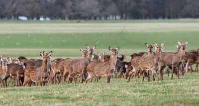 Study finds link between rising sika deer populations and bovine TB infections in Ireland