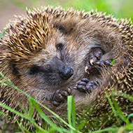 Vet students win grant to safeguard hedgehogs