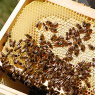 Petition launched to stop importation of honeybees via NI