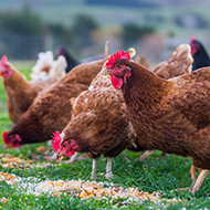 Vets urge vigilance as poultry restrictions lift