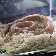 Snakes need to stretch out fully, study finds