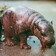 Endangered pygmy hippo calf born at Edinburgh Zoo