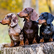 New health screening scheme for dachshunds