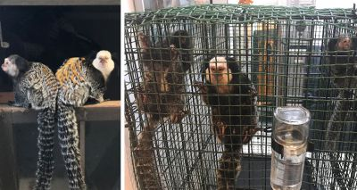 RSPCA reiterates call for ban on keeping primates as pets