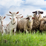 Goats adapt more quickly to changing conditions than sheep