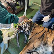 Vets save tiger's eye in first operation of its kind