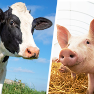 Pig and cattle health projects receive funding boost