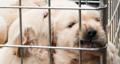 Kennel Club welcomes commitments to tackle puppy smuggling