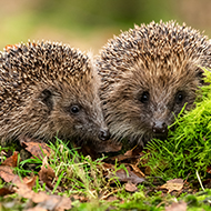 Parliament to debate hedgehog protection petition