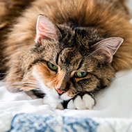 Vets sought for feline pancytopenia study