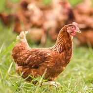 Genetics insights in chickens could tackle food poisoning